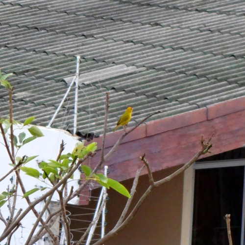 I'm not sure what this yellow bird is, but they are also pretty common here and are very beautiful.