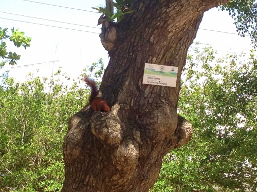 The squirrels here have red fur, and throughout much of the city, the trees are labeled with their species name. This is an almond tree.