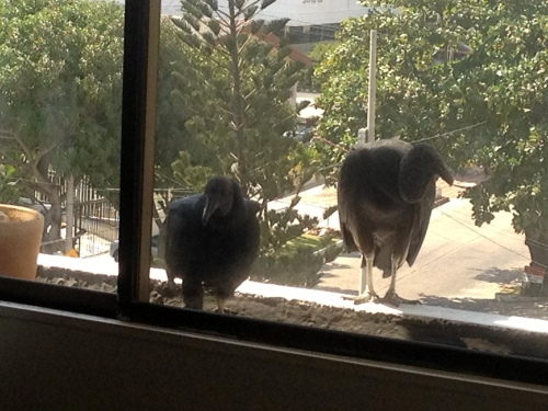 Don't even get me started. These GINORMOUS vultures landed on my windowsill one day. At least my windows weren't open like my friend's were when this happened to her.