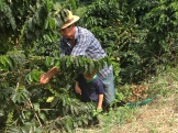 Marcello helps pick some coffee berries.